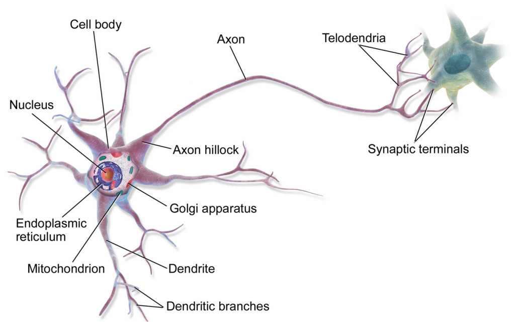 movement, motor, neuron, PNS
