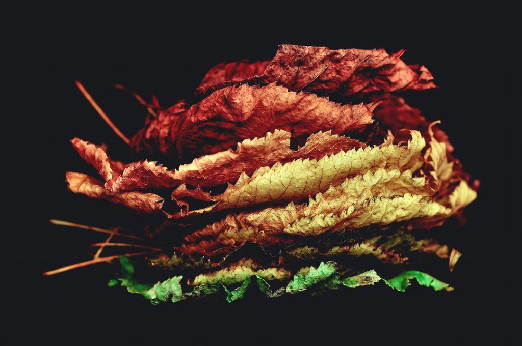 leaf senescence aging