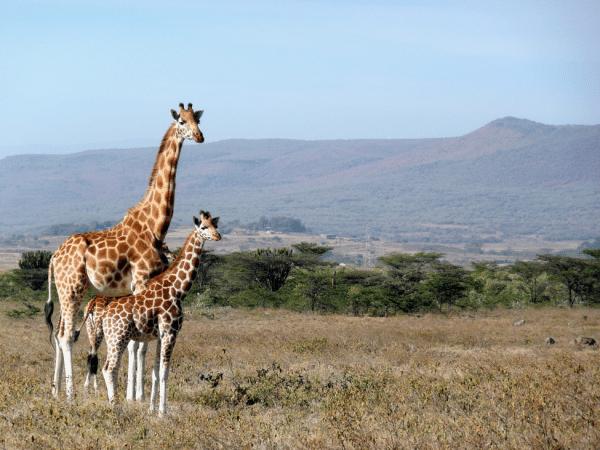 giraffe animal desert